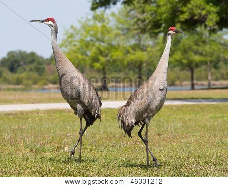 Sandhill Cranes In Pose