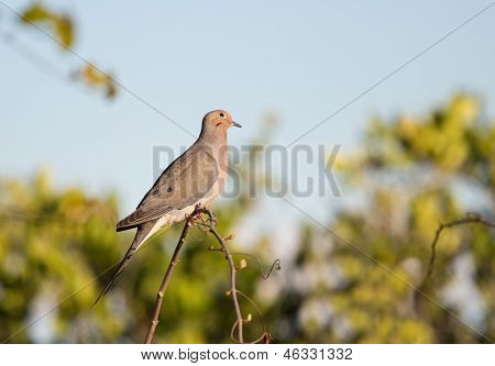 Mourning Dove Looking Upward