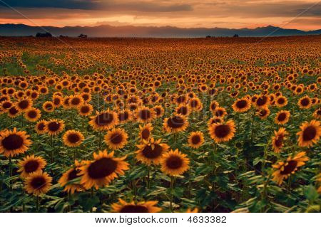 Sunflowers And Sunset On Colorado Plains
