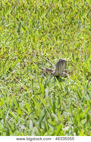 Indian Garden Lizard Staring At The Lens