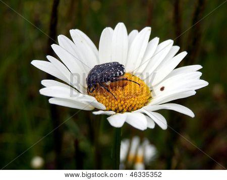Besouro de Rose branco-manchado