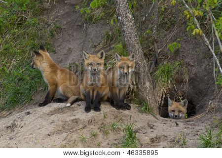 A litter of Red Foxes