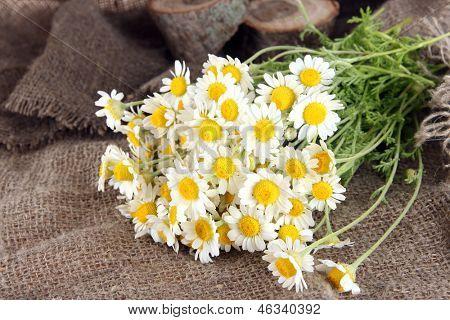 Many chamomile on sacking background