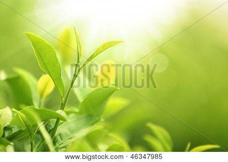 Green tea bud and leaves.Shallow Dof.