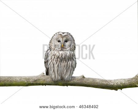 White Owl On A Stick