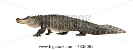 Jacaré americano (30 anos) - Alligator Mississippiensis