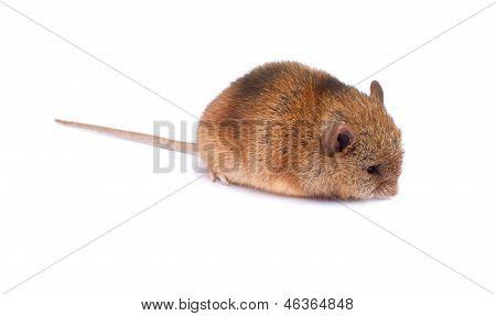 Single mouse smells something.
