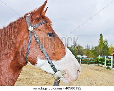 Closeup of the horse head at the hippodrome.
