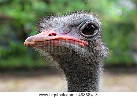 Emu Close Up