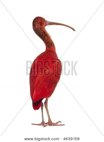 Scarlet Ibis - Eudocimus Ruber