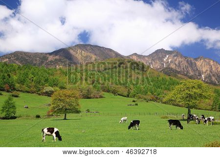 Cow Of The Plateau