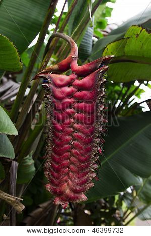 Dead Heliconia