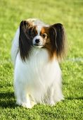 stock photo of epagneul  - A small white and red papillon dog  - JPG