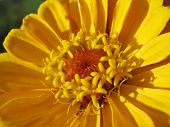 image of zinnias  - Extreme close up of yellow zinnia with stamens - JPG