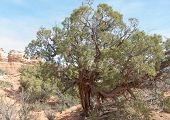 image of juniper-tree  - Utah juniper is the most predominant single species of trees in Utah - JPG