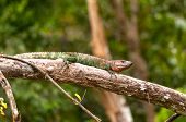 Caiman Lizard Basking On A Rain Forest Branch