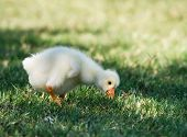 stock photo of baby goose  - Cute White Chinese Goose gosling eating grass - JPG
