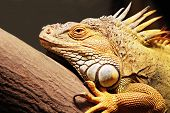 picture of godzilla  - Yellow iguana sitting on the tree in aquarium - JPG