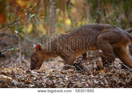 Endemic Fossa (Cryptoprocta ferox) in a dry tropical forest. Madagascar