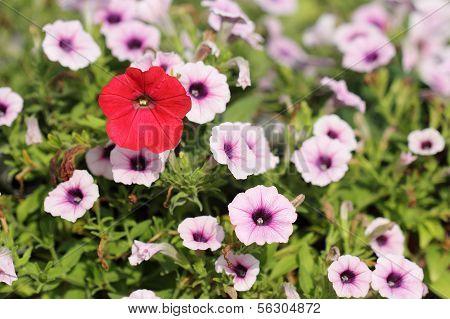 Colorful Petunias