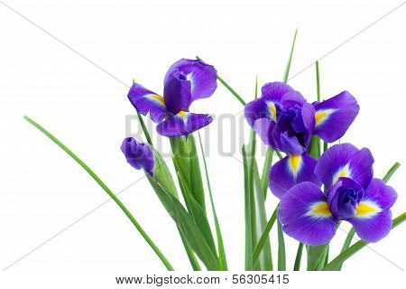 blue irise flowers