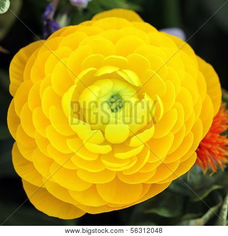 Yellow Persian Buttercup