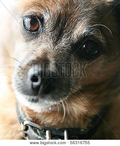 a very old senior dog's face, a chihuahua mix