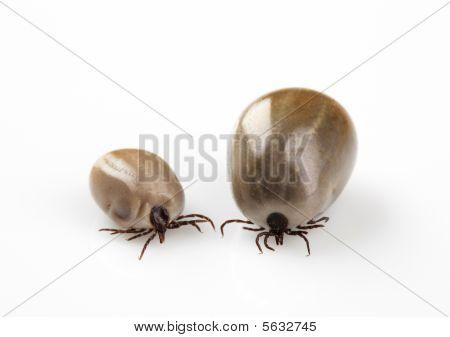 Two Blood-sucking Ticks