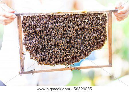 Bees on honey cells, Vietnam