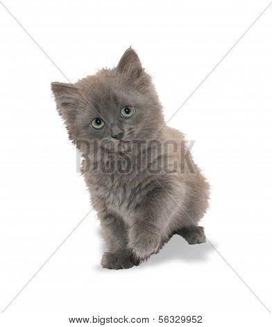 Blue Fluffy Kitten Looks Embarrassed