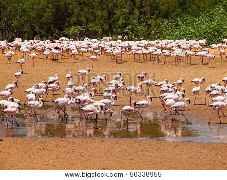 Flamingos Near Walvis Bay