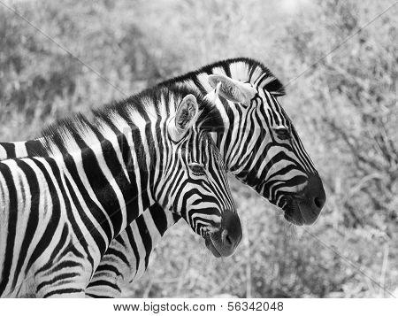Couple Of Zebras