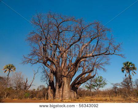 Árbol Baobab grande