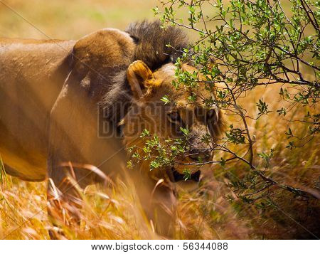 Lion Hidden In The Grass