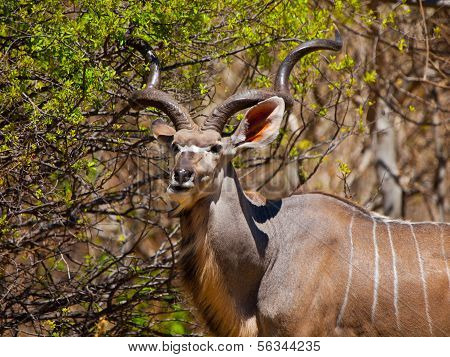 Eating Kudu Antelope