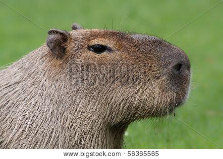 Portrait view of a Capybara