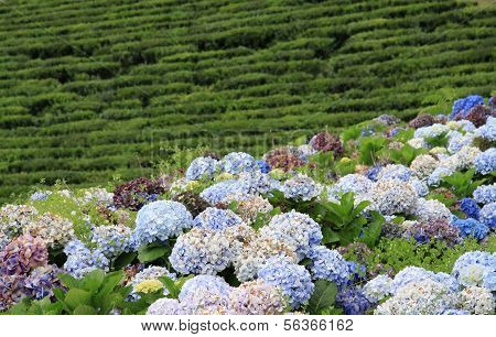 Hydrangeas in front of a tea field (Azores)