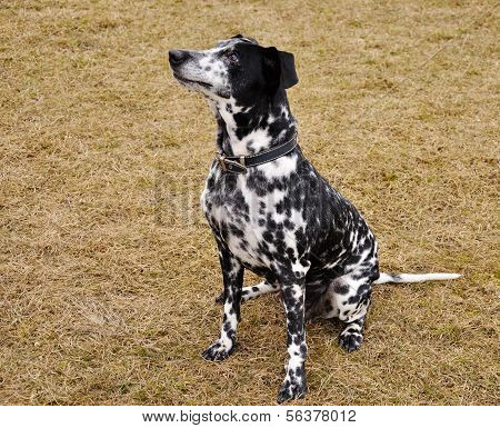 dalmatian sitting on dried grass