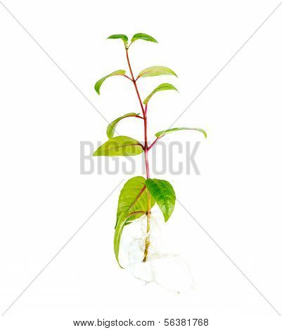 sapling seedling with visible root against a white background