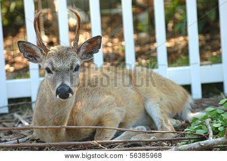 Key Deer Buck