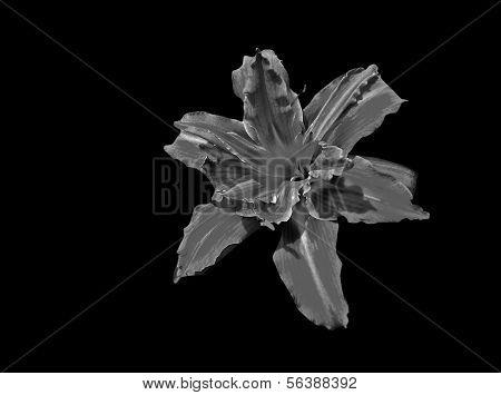 Monochrome lily