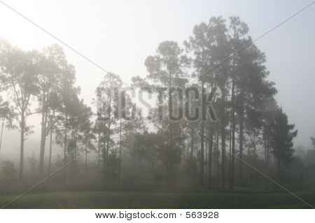 Pine Trees In A Fog