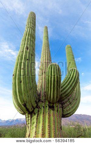 cactus in the Arizona desert against the sky
