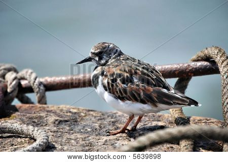 Sandpiper on a wall