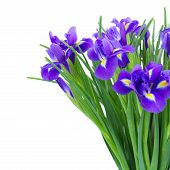 stock photo of purple iris  - bunch of blue  irises flower close up  isolated on white background - JPG