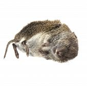 foto of dead mouse  - Dead mouse shown laying on white background - JPG