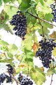 stock photo of garden eden  - Grapes in the vineyard the garden of Eden Chiang Mai Thailand - JPG