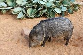 A collared peccary or javelina. Collared peccaries are pig-like animals that inhabit the deserts.