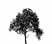 picture of dead-line  - Tree silhouette isolated on white - JPG