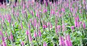 Purple Spiked Speedwell And Blurred Backyard Lush Green Grass
